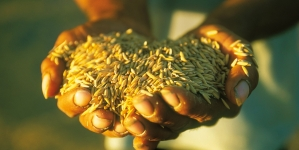 Development could transform rice production