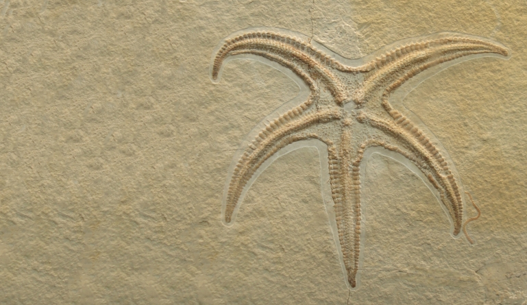 Starfish help solve evolutionary puzzle