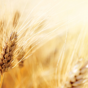 Researchers identify way to protect wheat