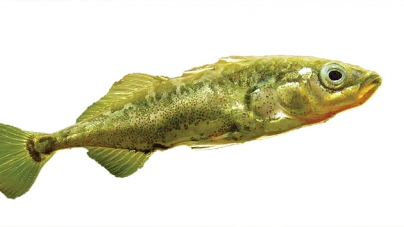 Shoals of sticklebacks differ in their collective personalities