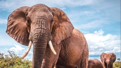 Picking up good vibrations: Feeling the beat through the elephants feet