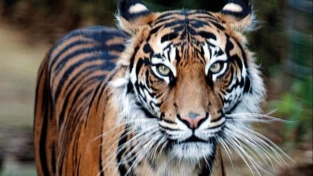 Sumatra's tigers defy expectations on genetic diversity