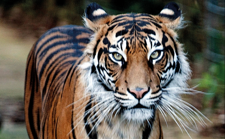 Sumatra's tigers defy expectations on genetic diversity